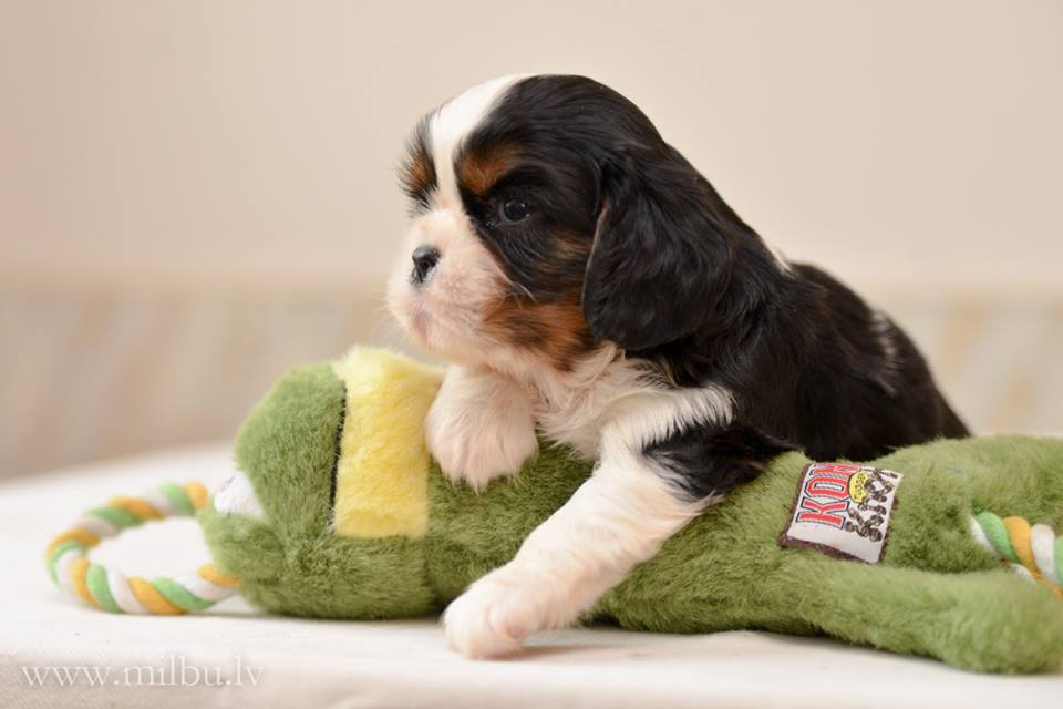 Cavalier King Charles spaniel puppes MilbuCavalier King Charles spaniel puppes MilbuCavalier King Charles spaniel puppes Milbu